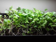 microgreens-3-600